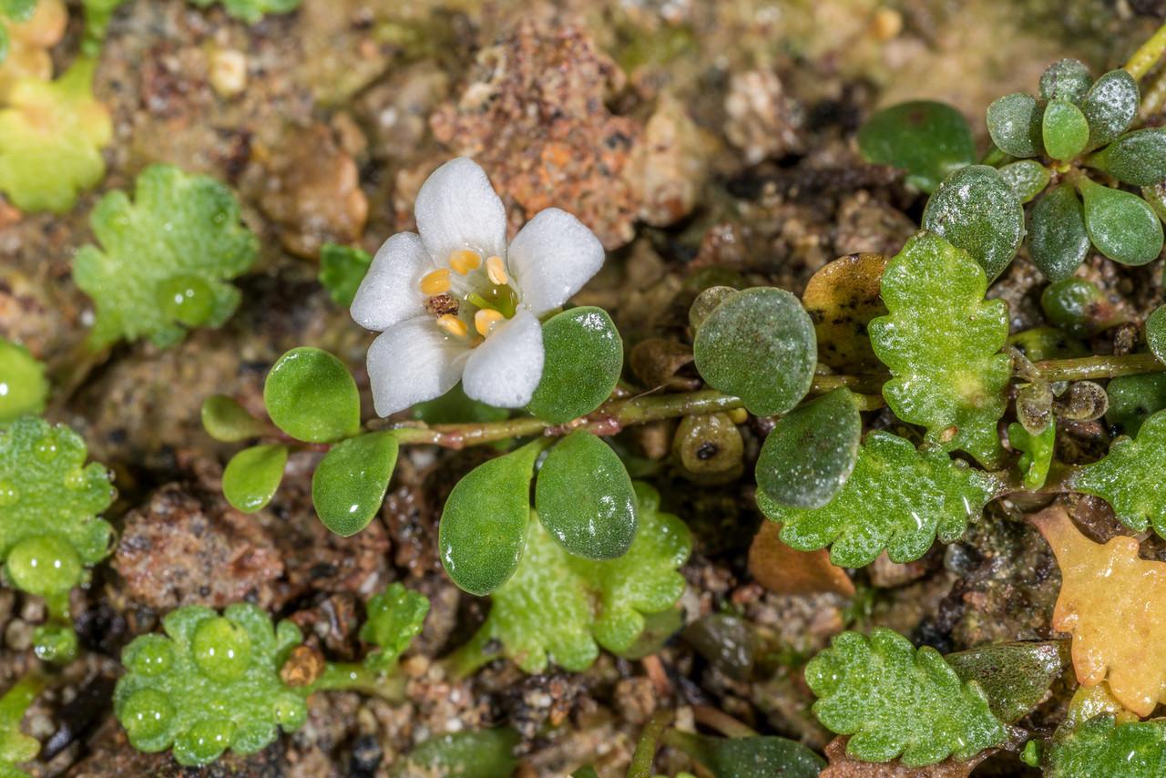 Sea primrose or shore pimpernel (Samolus repens) flower and shore cotula (Leptinella dioica). Sandfly Bay, Otago  Peninsula
