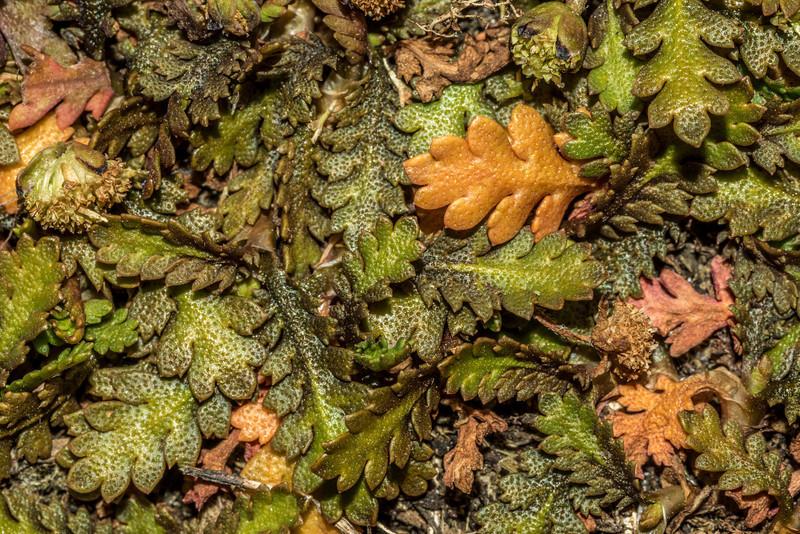 Leptinella dispersa, Watsons Beach
