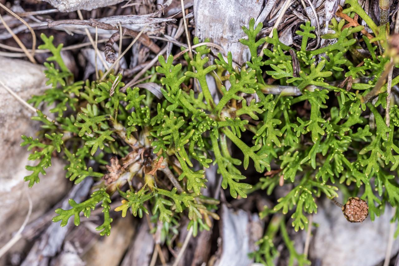 Leptinella pyrethrifolia var. pyrethrifolia. Mount Arthur, Kahurangi National Park.