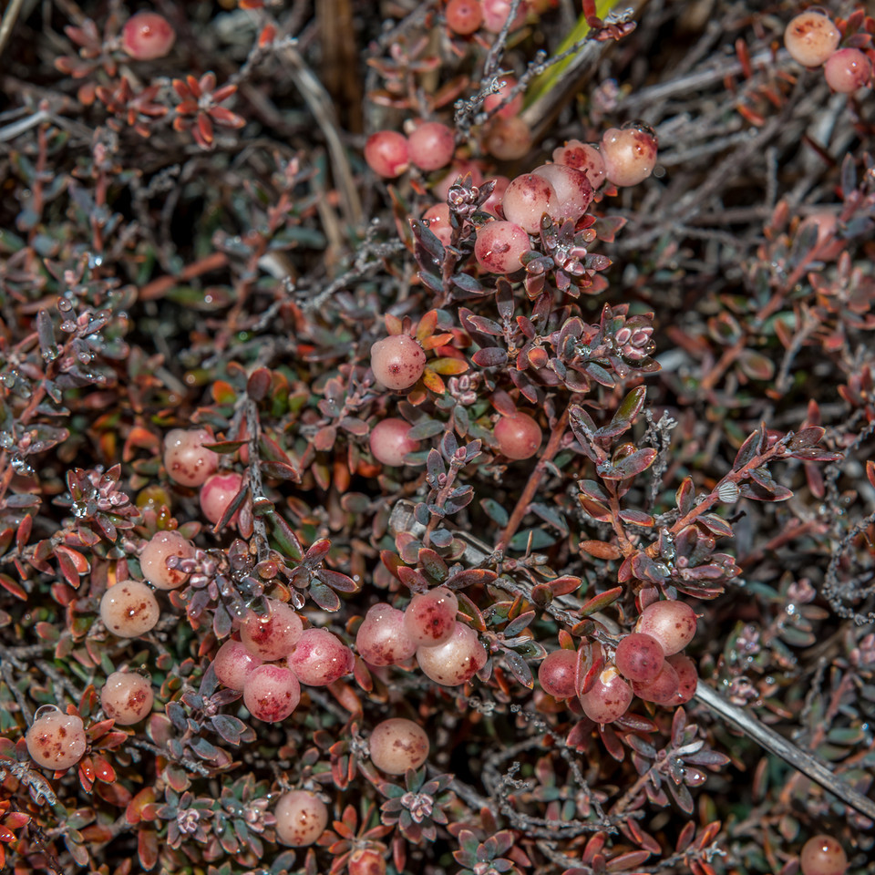 Little mountain heath (Pentachondra pumila). Mount Campbell, Mavora