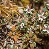 Little mountain heath (Pentachondra pumila). Young Range, Otago.