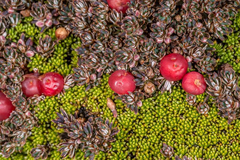 Rock cushion (Phyllachne colensoi), bright green, and Montitega dealbata (dark green with red berries). Big Hut, Rock and Pillar Range
