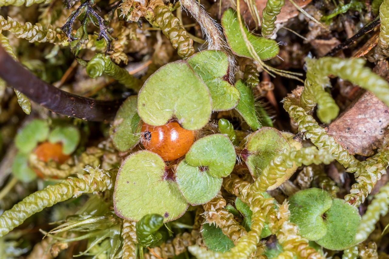 Hairy forest Nertera (Nertera villosa). Pukepuke to Kaipo Lagoon Track, Te Urewera National Park.