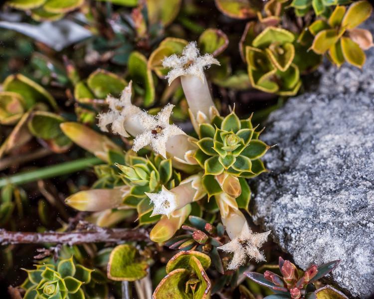 Dwarf mingimingi / pātōtara (Leucopogon fraseri). Mount Arthur, Kahurangi National Park.