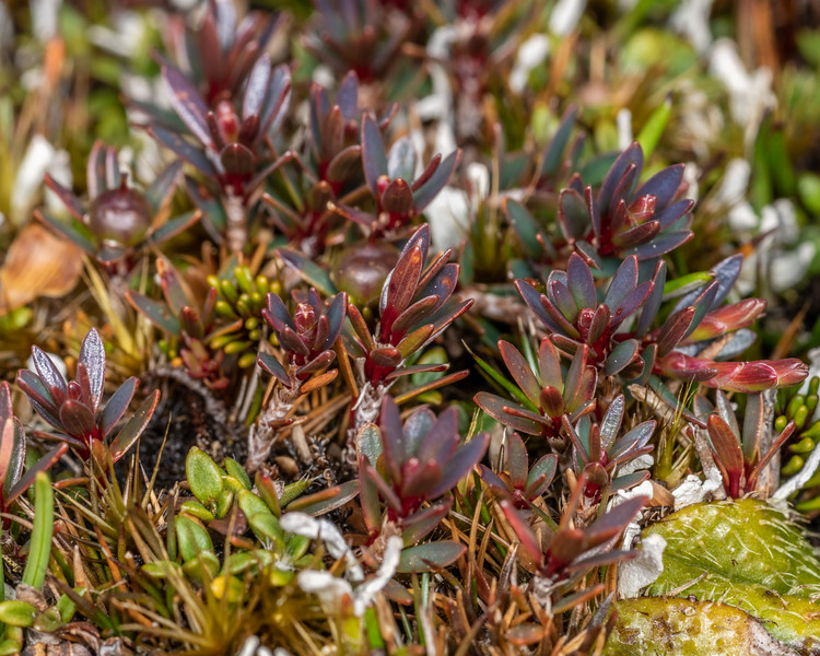 Little mountain heath (Pentachondra pumila). Buckland Peaks, Paparoa Range.