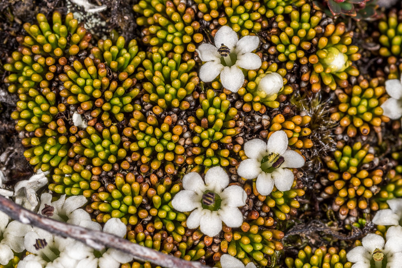 Rock cushion (Phyllachne colensoi). Centre Pass, Fiordland National Park.