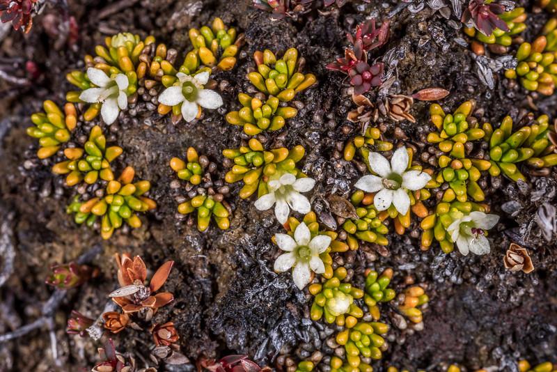 Rock cushion (Phyllachne colensoi). Mount Luxmore, Fiordland National Park.