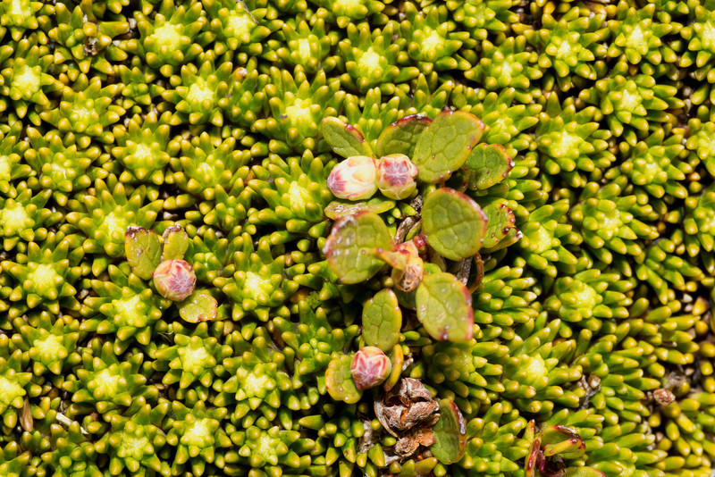 Rock cushion (Phyllachne colensoi), here associated with Gaultheria nubicola. Mount Wilson, Haast Pass