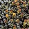 Golden scabweed (Raoulia australis). McPherson Creek, Matukituki River West Branch.
