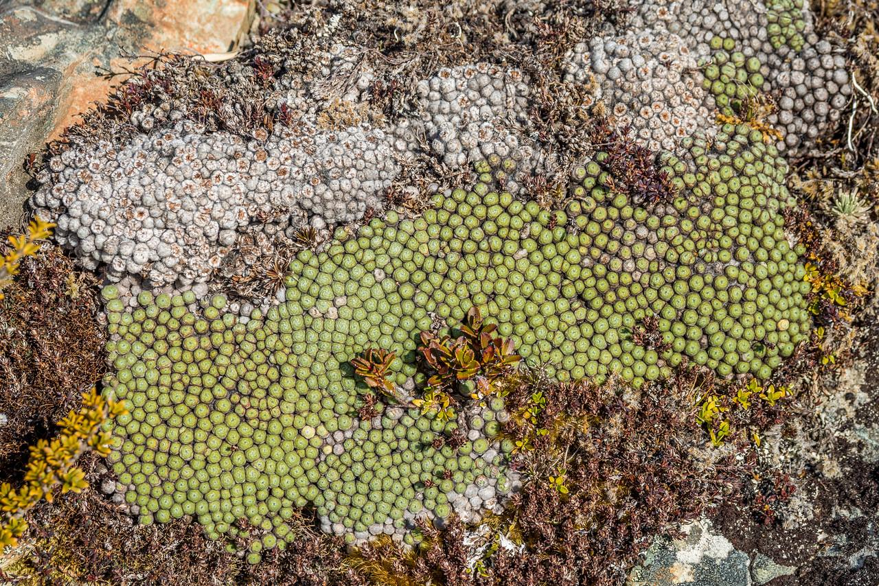 Raoulia buchananii. Upper Caples River, north of West Steele Saddle (Pt 1623m), Ailsa Mountains