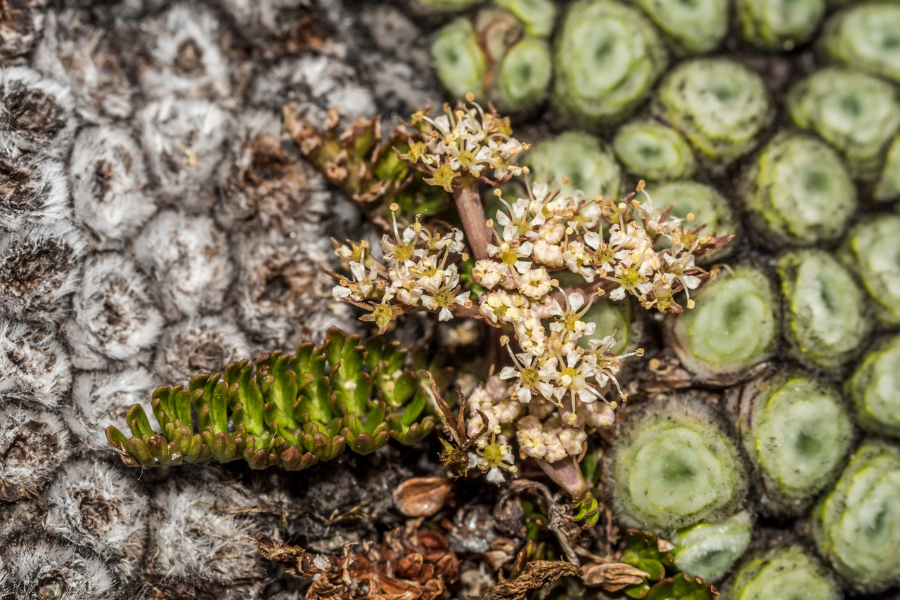 Aromatic aniseed / kopoti (Anisotome aromatica) and Raoulia buchananii. Blockade Stream, Olivine Wilderness