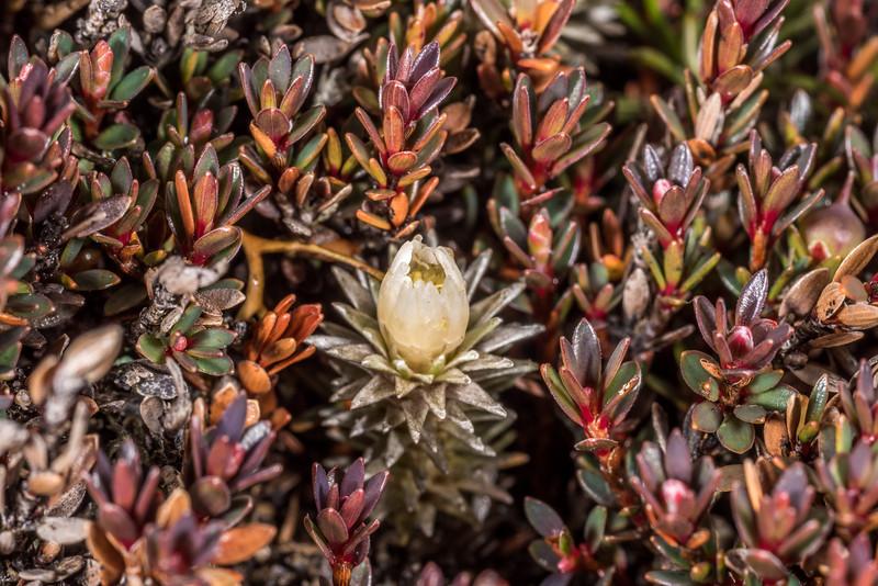 Large-flowered mat daisy (Raoulia grandiflora) among little mountain heath (Pentachondra pumila). Mount Luxmore, Fiordland National Park.
