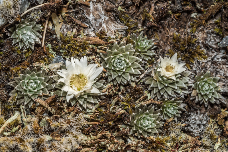 Large-flowered mat daisy (Raoulia grandiflora). Blockade Stream, Mount Aspiring National Park.