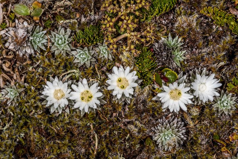 Large-flowered mat daisy (Raoulia grandiflora). Gertrude Saddle, Fiordland National Park.