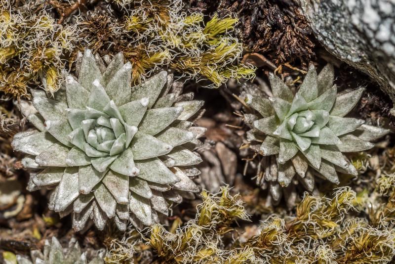 Large-flowered mat daisy (Raoulia grandiflora). Blockade Stream, Mount Aspiring National Park.