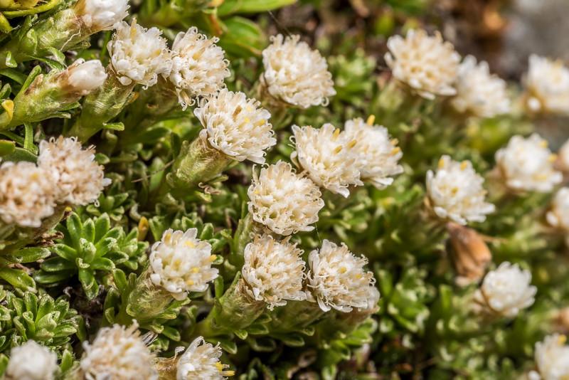 Turf mat daisy (Raoulia subsericea). Major Peak, Wakatipu.