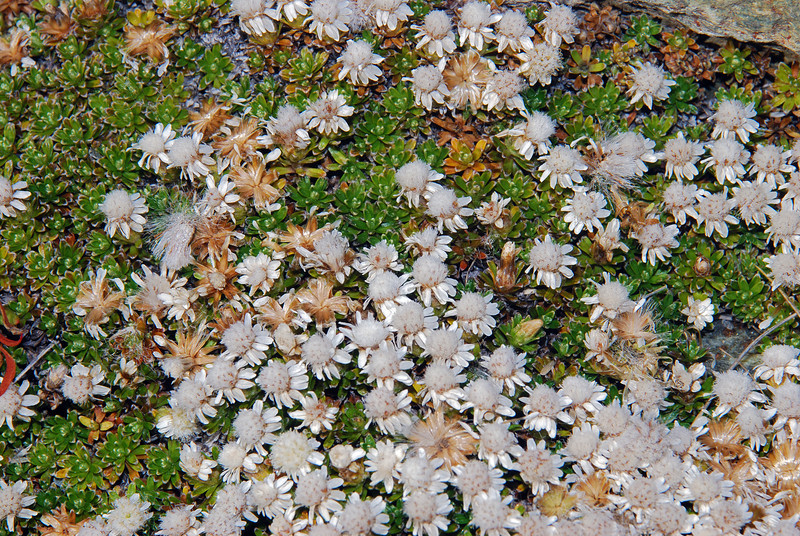 Turf mat daisy (Raoulia subsericea). Mt McIntosh, Lake Wakatipu
