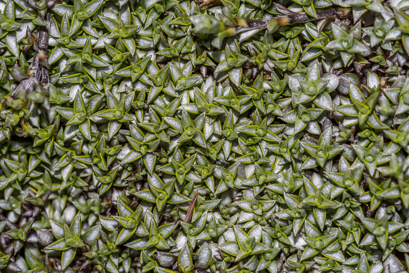 Tutahuna (Raoulia tenuicaulis). Daleys Flat, Dart River