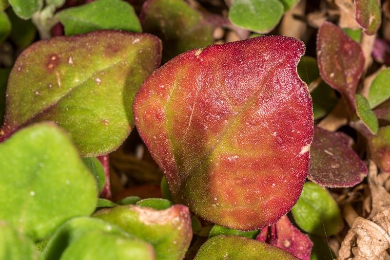 Native spinach (Tetragonia implexicoma). Tomahawk Track, Dunedin.