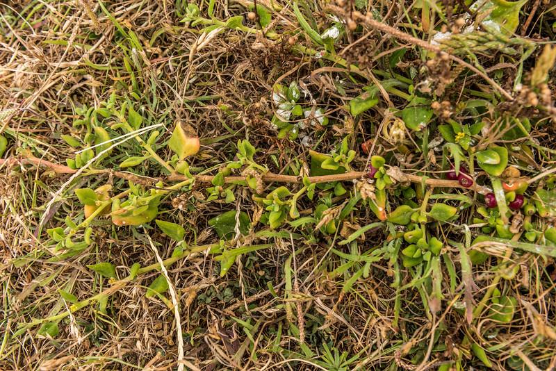 Native spinach / kōkihi (Tetragonia implexicoma). Te Whenuhau / Red Bluff. Petre Bay, Chatham Island.