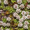 Turf mat daisy (Raoulia subsericea). Snowy Gorge Hut, Snowy Gorge Creek.