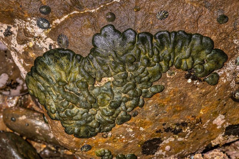 Codium convolutum. <br /> Huriawa Peninsula, Karitane, Otago.