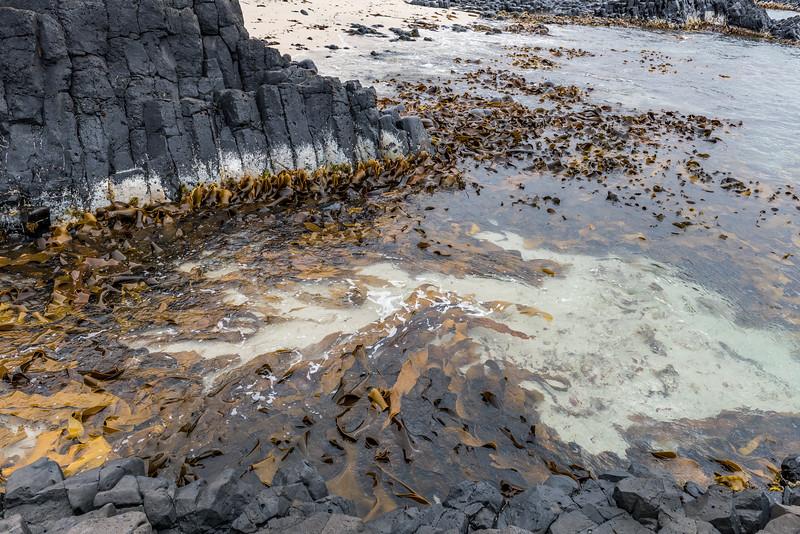 Durvillaea chathamensis at Ohira Bay, Chatham Island.