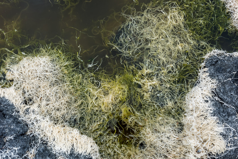 Sea lettuce (Ulva compressa). Ohira Bay, Chatham island.