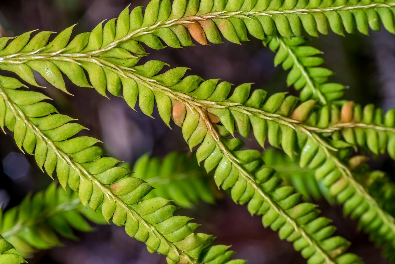 Climbing clubmoss / waewaekoukou (Lycopodium volubile). Abel Tasman Inland Track above Tinline Bay.