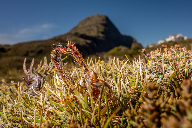 Alpine sundew (Drosera arcturi). McKellar Saddle