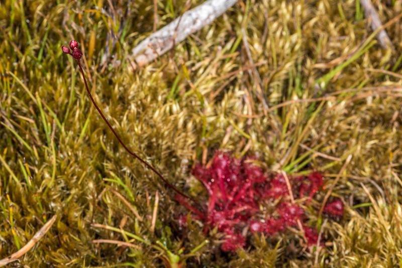 Sundew (Drosera spatulata). Amoeboid Mire, Kepler Track, Fiordland National Park.