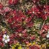 Sundew (Drosera spatulata). Gouland Downs, Heaphy Track, Kahurangi National Park.