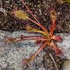 Sundew / wahu (Drosera stenopetala). Perry Saddle, Heaphy Track, Kahurangi National Park.