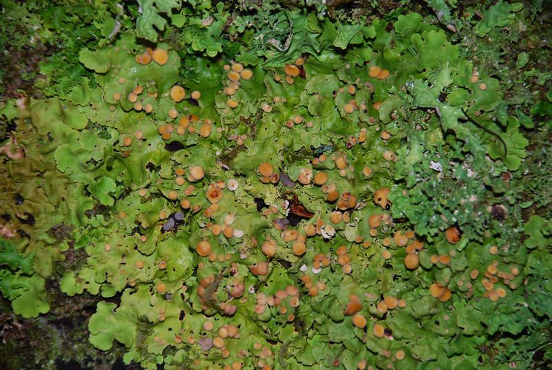 Lichens. Whenua Hou / Codfish Island
