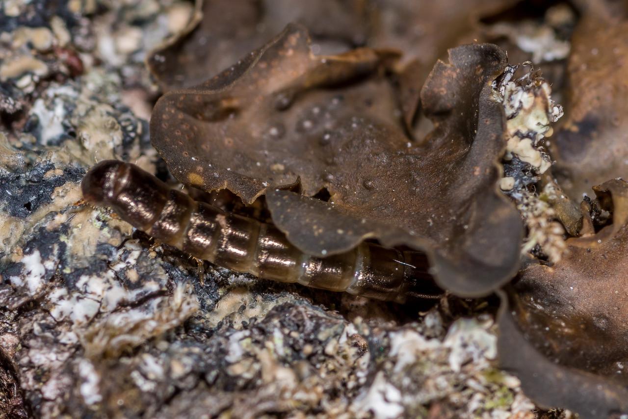 Darkling beetle (Tenebrionidae) larva under tree jelly lichen (Collema spp.), Awapoto Hut. Abel Tasman National Park.