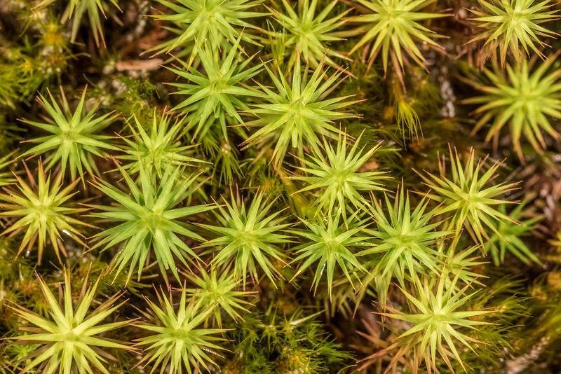 Haircap moss (Polytrichum spp.). Seaforth River, Fiordland National Park.