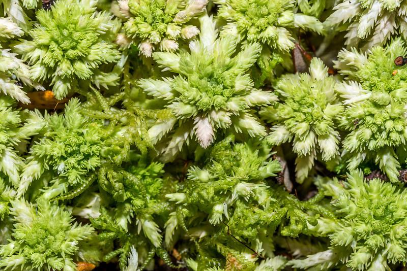 Sphagnum moss (Sphagnum cristatum). Green Lake