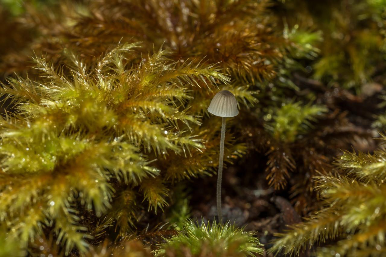 Small mushroom surrounded by Umbrella moss (Hypopterygium rotulatum). Thomson Ridge, Stewart Island