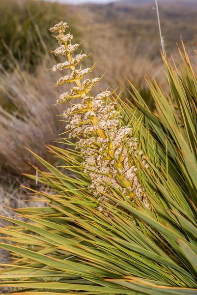 Golden spaniard (Aciphylla aurea). Nevis Burn, Hector Mountains