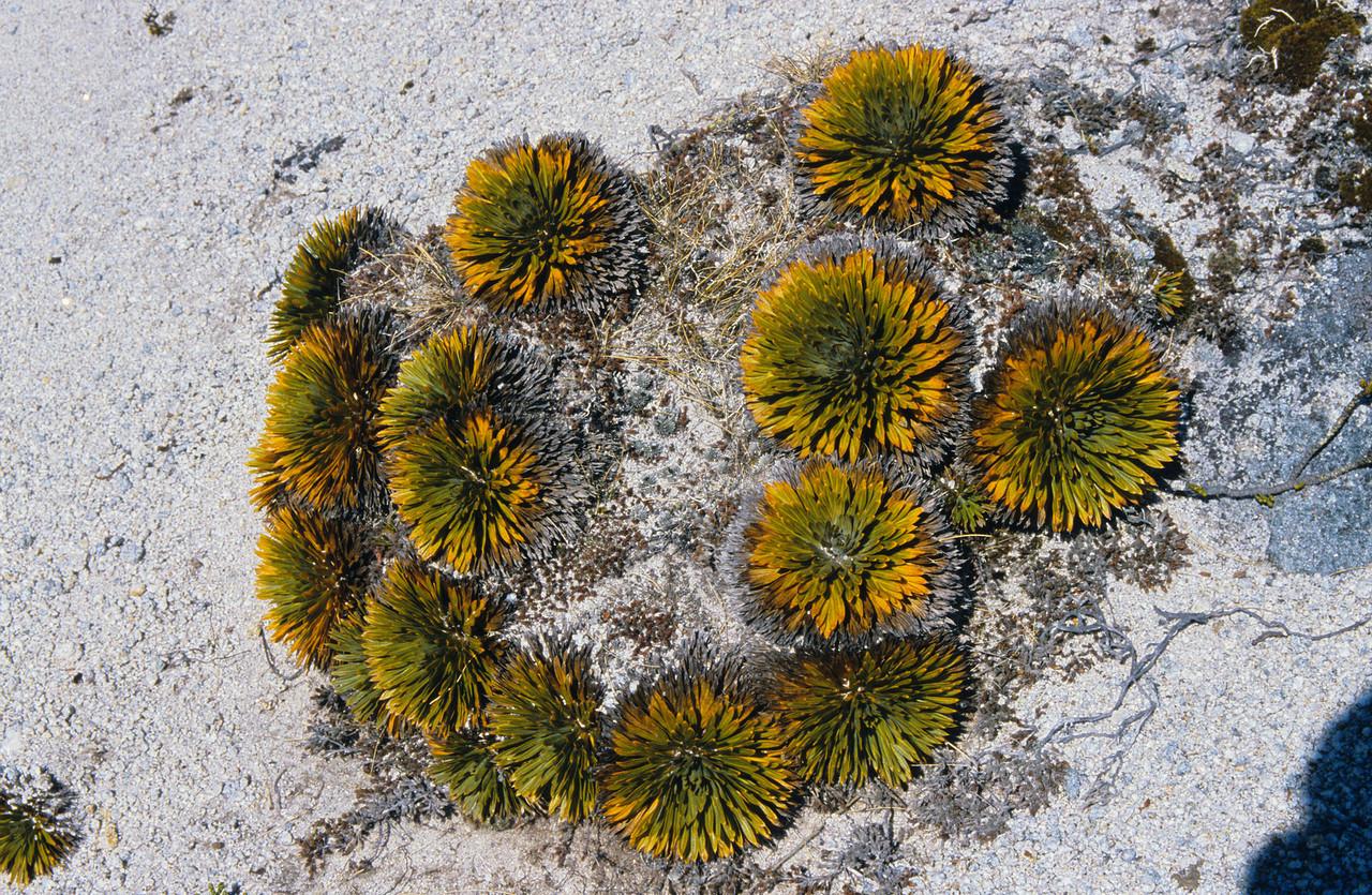 Aciphylla congesta. Mt Titiroa north ridge