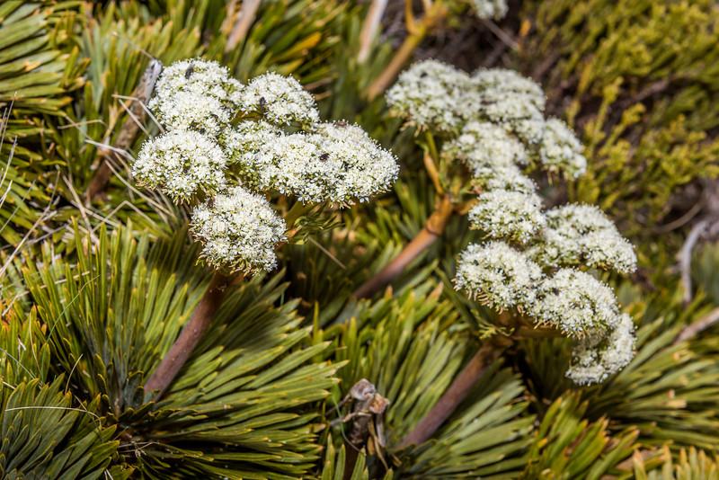 Aciphylla crosby-smithii. Mount Luxmore, Fiordland National Park.