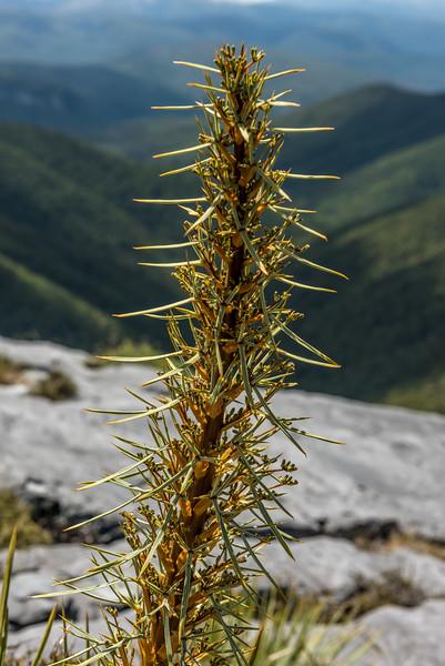 Aciphylla glaucescens. Mount Arthur, Kahurangi National Park.