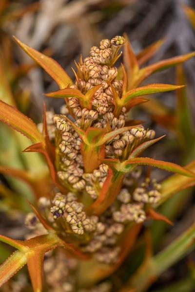 Aciphylla hookeri. <br /> Buckland Peaks, Paparoa Range.