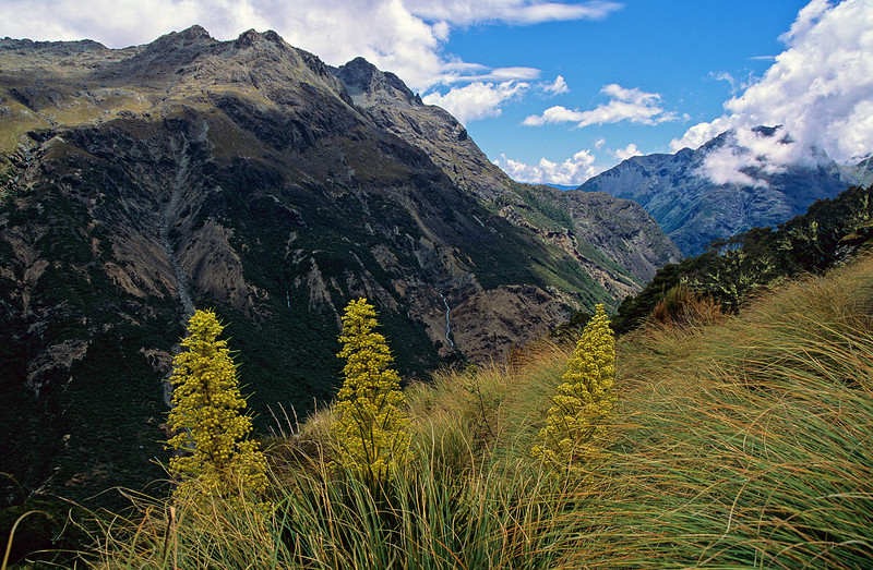 Horrid spaniard (Aciphylla horrida). Olivine Ledge, Mount Aspiring NP