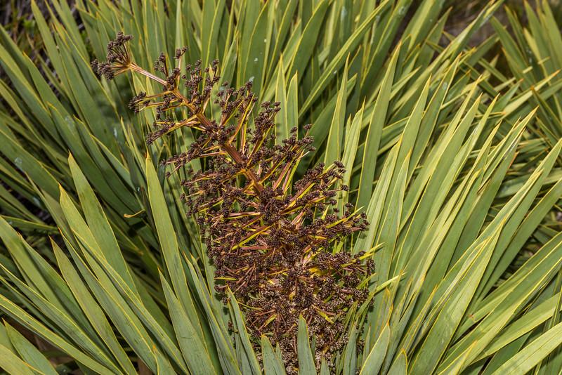 Horrid spaniard (Aciphylla horrida). High Burn, Young Range, Otago.