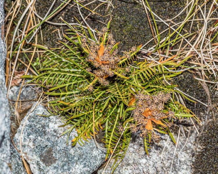 Aciphylla pinnatifida. Rugged Mount, Cameron Mountains, Fiordland National Park.