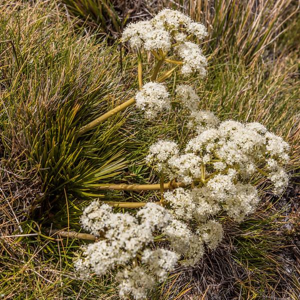 Aciphylla polita. Green Saddle, Douglas Range, Kahurangui National Park.