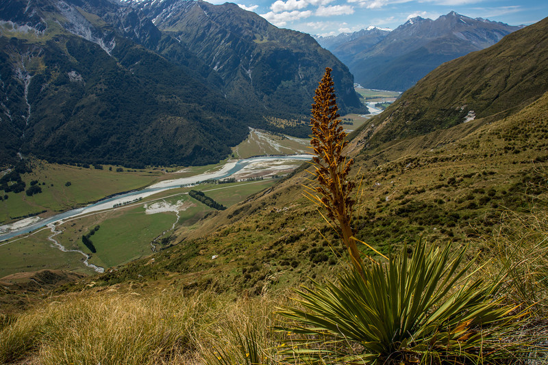 Giant speargrass (Aciphylla scott-thomsonii). Sharks Tooth Peak, Matukituki River West Branch