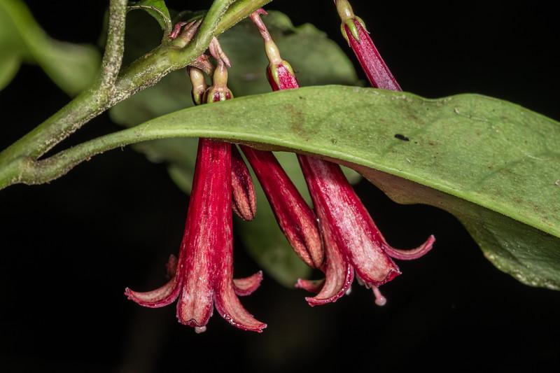 Toropapa (Alseuosmia macrophylla). Danseys Reserve, Rotorua.