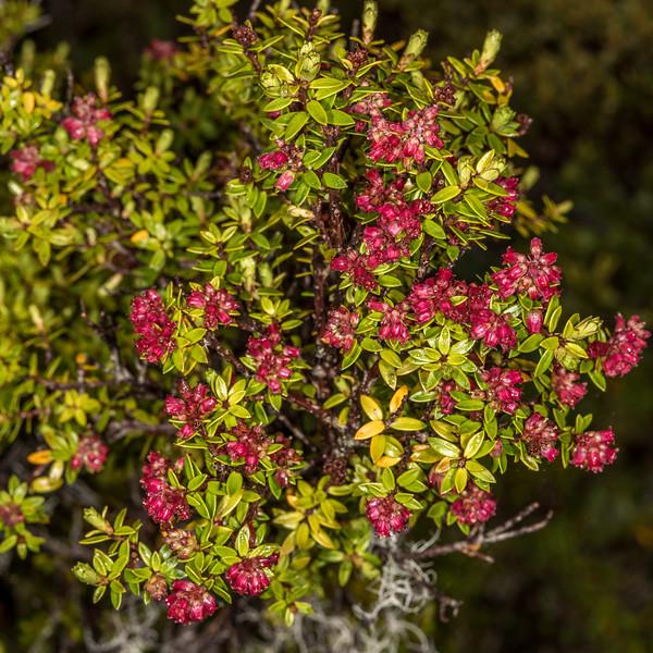 Archeria traversii. Pleasant Range, Fiordland National Park.